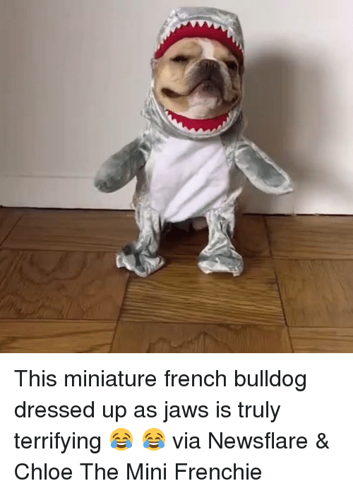 French Bulldogs: This miniature french bulldog dressed up as jaws is truly terrifying 😂 😂  via Newsflare & Chloe The Mini Frenchie
