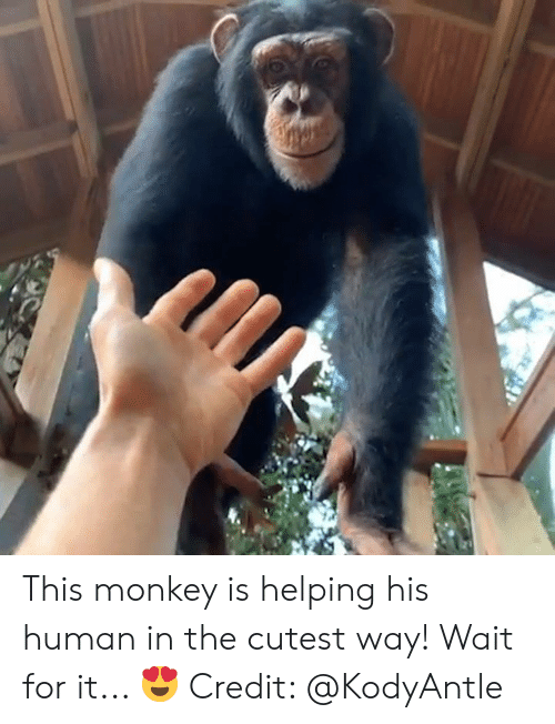 Monkey, Human, and For: This monkey is helping his human in the cutest way! Wait for it... 😍  Credit: @KodyAntle