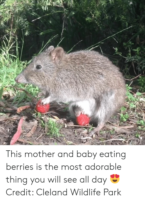 See All: This mother and baby eating berries is the most adorable thing you will see all day 😍  Credit: Cleland Wildlife Park