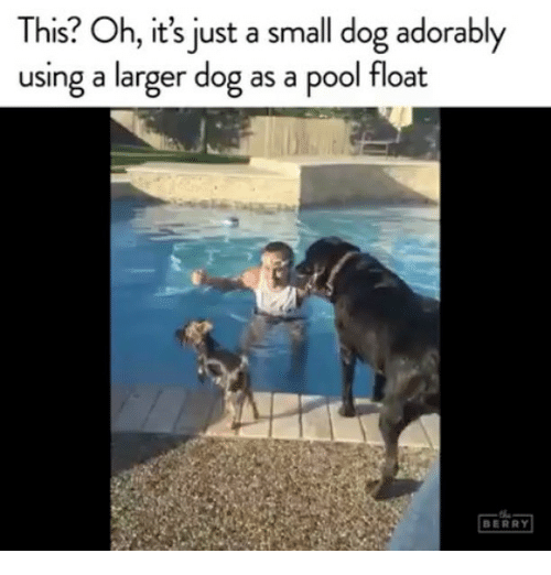 Pool, Girl Memes, and Dog: This? Oh, it's just a small dog adorably  using a larger dog as a pool float  BERRY