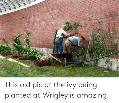 Mlb, Wrigley, and Amazing: This old pic of the ivy being planted at Wrigley is amazing