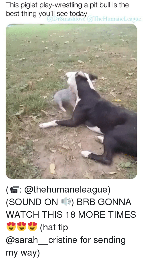Memes, Wrestling, and Best: This piglet play-wrestling a pit bull is the  best thing you'll see today@TheHumaneLcague  4 (📹: @thehumaneleague) (SOUND ON 🔊) BRB GONNA WATCH THIS 18 MORE TIMES 😍😍😍 (hat tip @sarah__cristine for sending my way)
