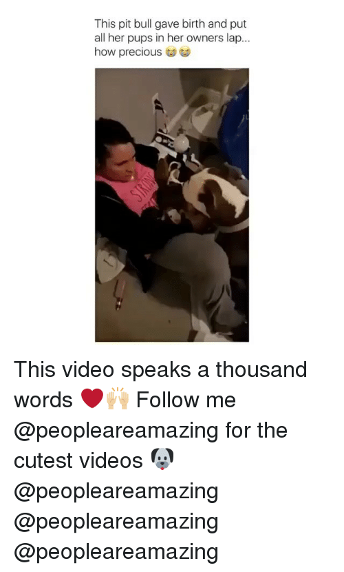 Memes, Precious, and Videos: This pit bull gave birth and put  all her pups in her owners lap...  how precious This video speaks a thousand words ❤️🙌🏼 Follow me @peopleareamazing for the cutest videos 🐶 @peopleareamazing @peopleareamazing @peopleareamazing
