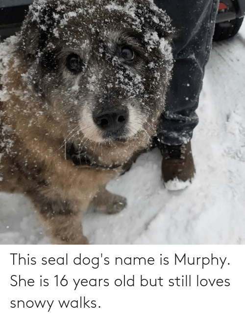 Dogs, Seal, and Old: This seal dog's name is Murphy. She is 16 years old but still loves snowy walks.