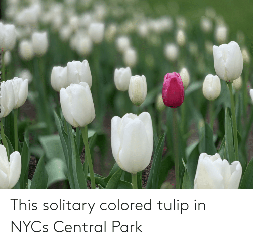 Central Park, Tulip, and Park: This solitary colored tulip in NYCs Central Park