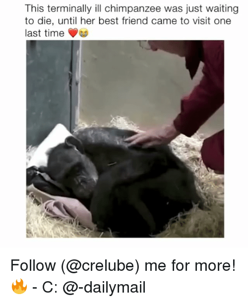 Best Friend, Memes, and Best: This terminally ill chimpanzee was just waiting  to die, until her best friend came to visit one  last time Follow (@crelube) me for more! 🔥 - C: @-dailymail