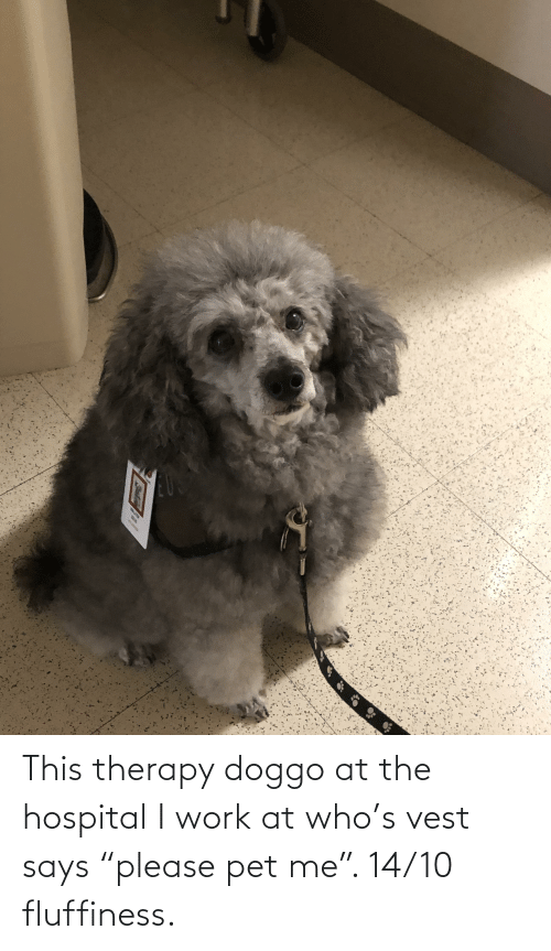 """Fluffiness: This therapy doggo at the hospital I work at who's vest says """"please pet me"""". 14/10 fluffiness."""