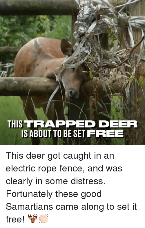 eer: THIS TRAPPED EER  ISABOUT TO BE SET FREEE This deer got caught in an electric rope fence, and was clearly in some distress. Fortunately these good Samartians came along to set it free! 🦌👏🏻