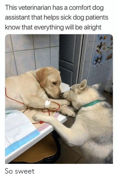 Veterinarian: This veterinarian has a comfort dog  assistant that helps sick dog patients  know that everything will be alright So sweet