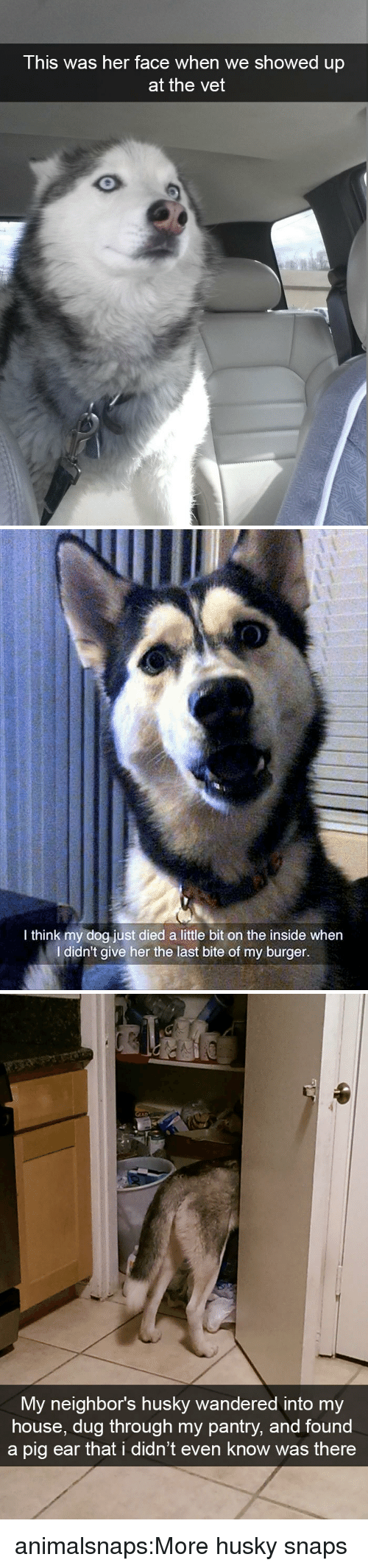 My House, Target, and Tumblr: This was her face when we showed up  at the vet   0  I think my dog just died a little bit on the inside when  I didn't give her the last bite of my burger.   My neighbor's husky wandered into my  house, dug through my pantry, and found  a pig ear that i didn't even know was there animalsnaps:More husky snaps