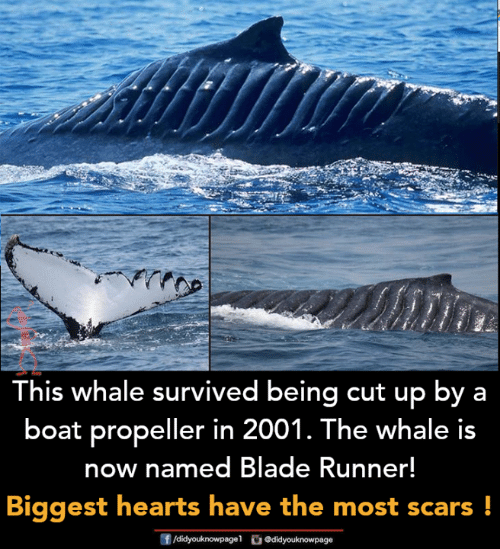 blade runner: This whale survived being cut up by a  boat propeller in 2001. The whale is  now named Blade Runner!  Biggest hearts have the most scars!