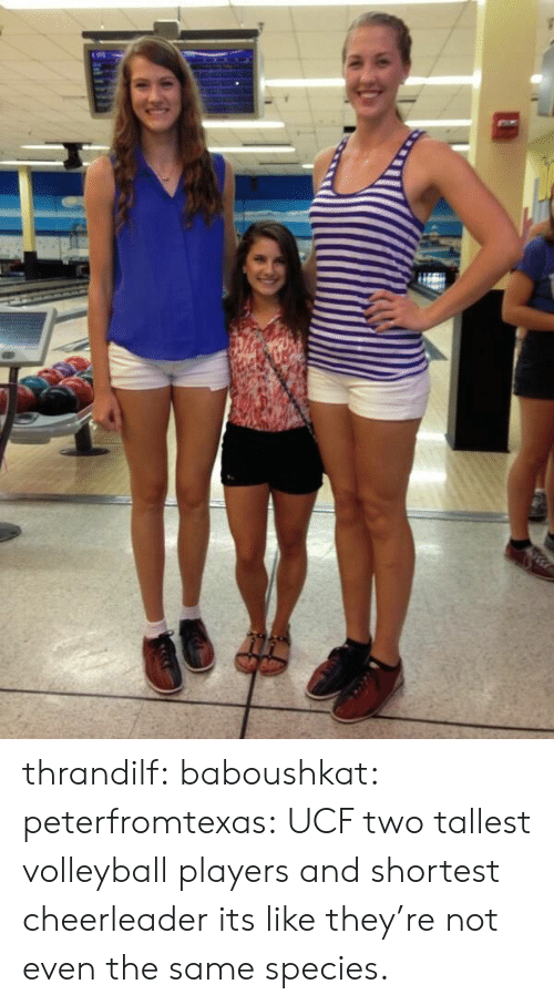 Cheerleader: thrandilf:  baboushkat:  peterfromtexas:  UCF two tallest volleyball players and shortest cheerleader  its like they're not even the same species.
