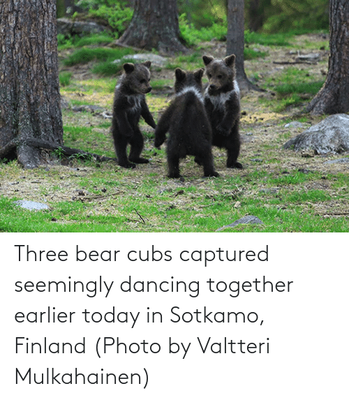 seemingly: Three bear cubs captured seemingly dancing together earlier today in Sotkamo, Finland (Photo by Valtteri Mulkahainen)