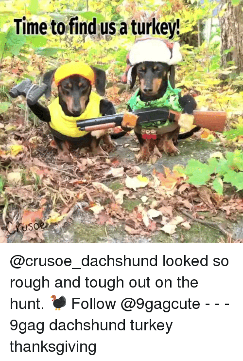 dachshund: Time to find usa turkeyt @crusoe_dachshund looked so rough and tough out on the hunt. 🦃 Follow @9gagcute - - - 9gag dachshund turkey thanksgiving