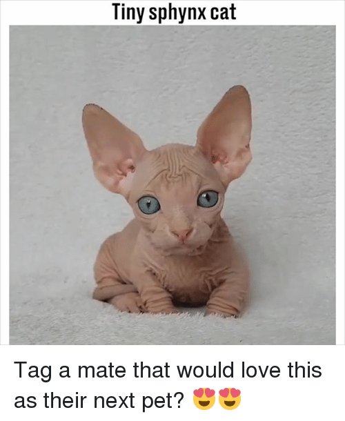 Tag A Mate: Tiny sphynx cat Tag a mate that would love this as their next pet? 😍😍