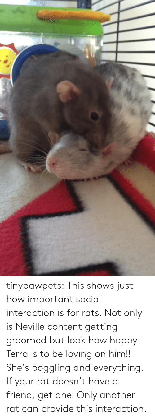Groomed: tinypawpets: This shows just how important social interaction is for rats. Not only is Neville content getting groomed but look how happy Terra is to be loving on him!! She's boggling and everything. If your rat doesn't have a friend, get one! Only another rat can provide this interaction.