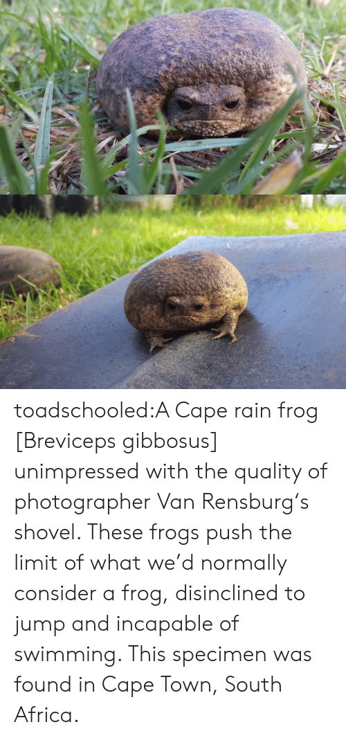 specimen: toadschooled:A Cape rain frog [Breviceps gibbosus] unimpressed with the quality of photographer VanRensburg's shovel. These frogs push the limit of what we'd normally consider a frog, disinclined to jump and incapable of swimming. This specimen was found in Cape Town, South Africa.