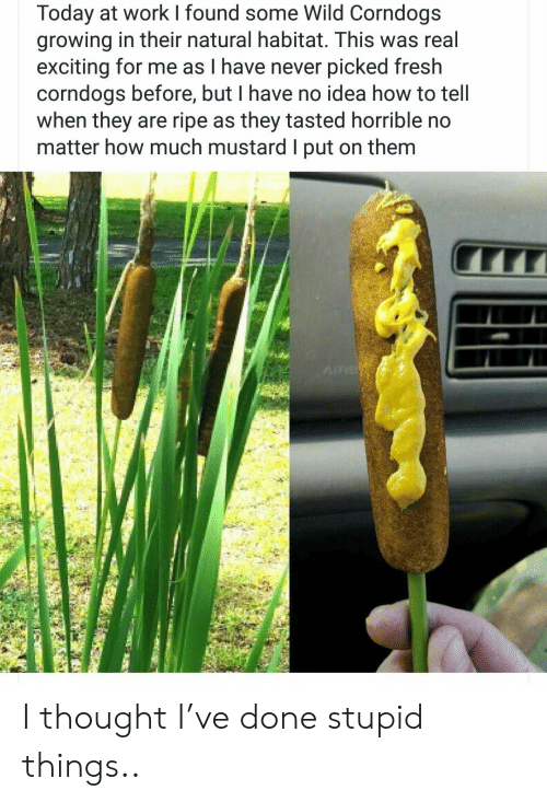 exciting: Today at work found some Wild Corndogs  growing in their natural habitat. This was real  exciting for me as I have never picked fresh  corndogs before, but I have no idea how to tell  when they are ripe as they tasted horrible no  matter how much mustard I put on them  AIR I thought I've done stupid things..