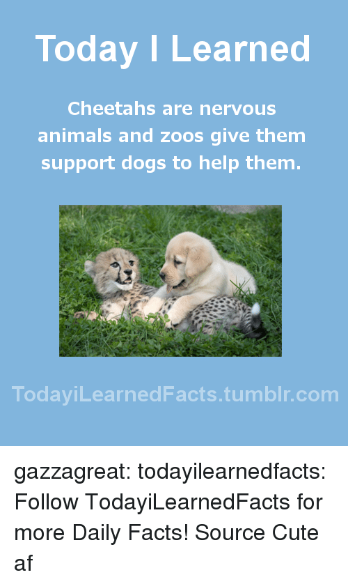 Cute AF: Today I Learned  Cheetahs are nervous  animals and zoos give them  support dogs to help them  TodaviLearned Facts.tumblr.com gazzagreat: todayilearnedfacts:   Follow TodayiLearnedFacts for more Daily Facts! Source   Cute af