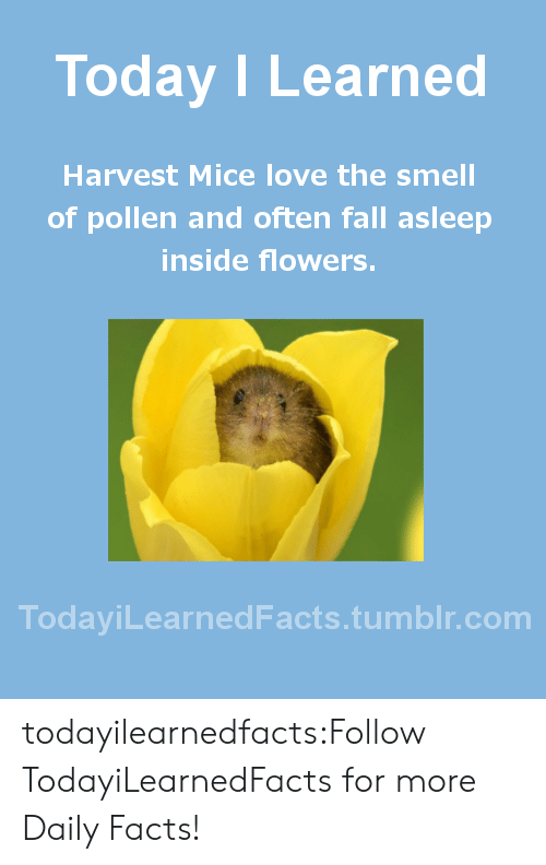 pollen: Today I Learned  Harvest Mice love the smell  of pollen and often fall asleep  inside flowers.  TodaviLearned Facts.tumblr.com todayilearnedfacts:Follow TodayiLearnedFacts for more Daily Facts!