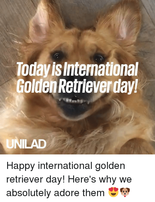 Dank, Golden Retriever, and Happy: Today is International  Golden Retrieverday  UNILAD Happy international golden retriever day! Here's why we absolutely adore them 😍🐶