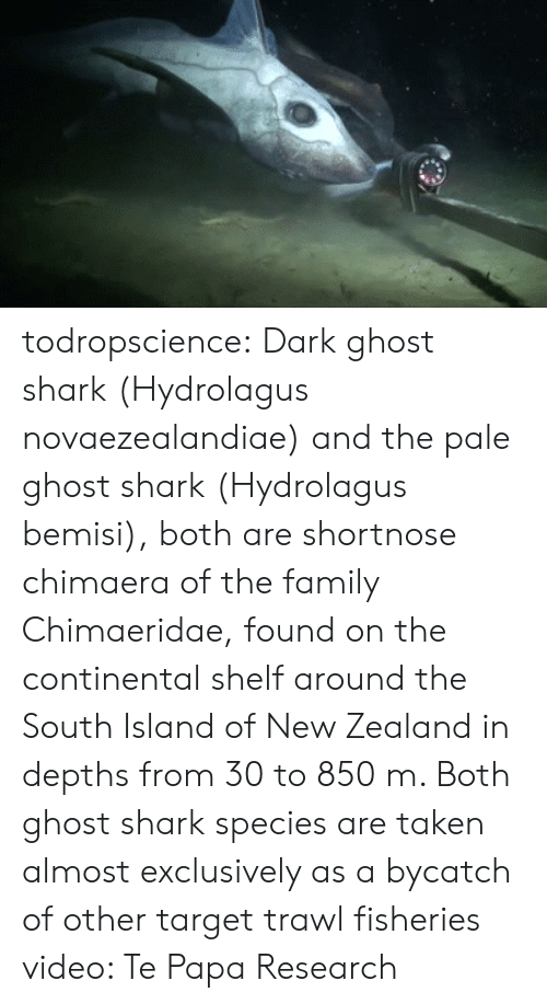 Paling: todropscience:  Dark ghost shark (Hydrolagus novaezealandiae) and the pale ghost shark (Hydrolagus bemisi), both are shortnose chimaera of the family Chimaeridae, found on the continental shelf around the South Island of New Zealand in depths from 30 to 850 m.  Both ghost shark species are taken almost exclusively as a bycatch of other target trawl fisheries  video: Te Papa Research