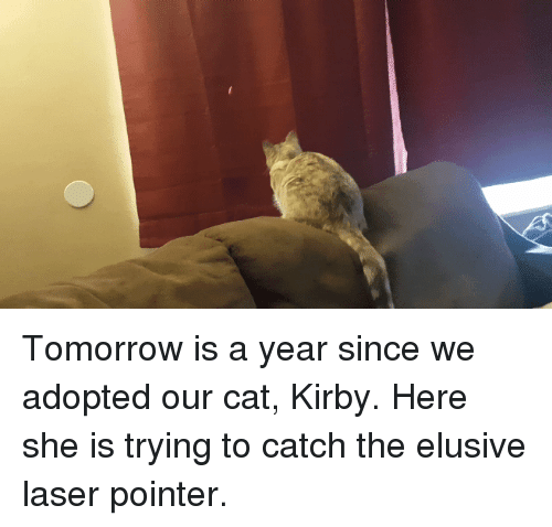 Funny, Tomorrow, and Kirby: Tomorrow is a year since we adopted our cat, Kirby. Here she is trying to catch the elusive laser pointer.