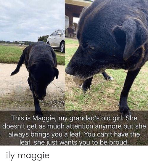 ily: tr  This is Maggie, my grandad's old girl. She  doesn't get as much attention anymore but she  always brings you a leaf. You can't have the  leaf, she just wants vou to be proud. ily maggie