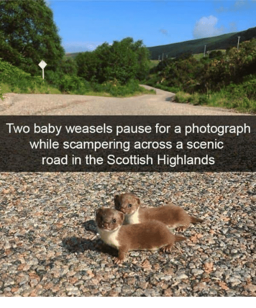Scottish: Two baby weasels pause for a photograph  while scampering across a scenic  road in the Scottish Highlands