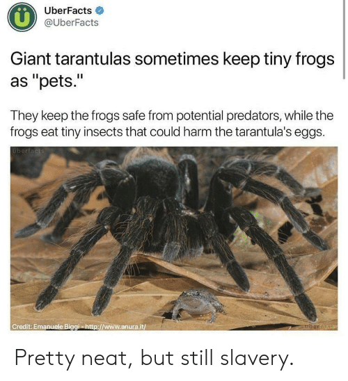 "Pets, Giant, and Http: UberFacts  @UberFacts  Giant tarantulas sometimes keep tiny frogs  as ""pets.""  They keep the frogs safe from potential predators, while the  frogs eat tiny insects that could harm the tarantula's eggs.  berfacts  uberta  Credit: Emanuele Biggi-http://www.anura.it Pretty neat, but still slavery."