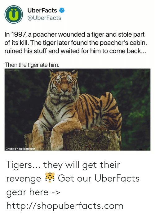 Memes, Revenge, and Http: UberFacts  @UberFacts  In 1997, a poacher wounded a tiger and stole part  of its kill. The tiger later found the poacher's cabin,  ruined his stuff and waited for him to come back...  Then the tiger ate him  uberfacts  Credit: Frida Bredesen Tigers... they will get their revenge 🐯  Get our UberFacts gear here -> http://shopuberfacts.com
