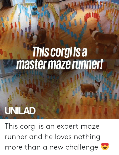 Corgi, Dank, and 🤖: ul  This corgiisa  master maze runner!  UNILAD This corgi is an expert maze runner and he loves nothing more than a new challenge 😍
