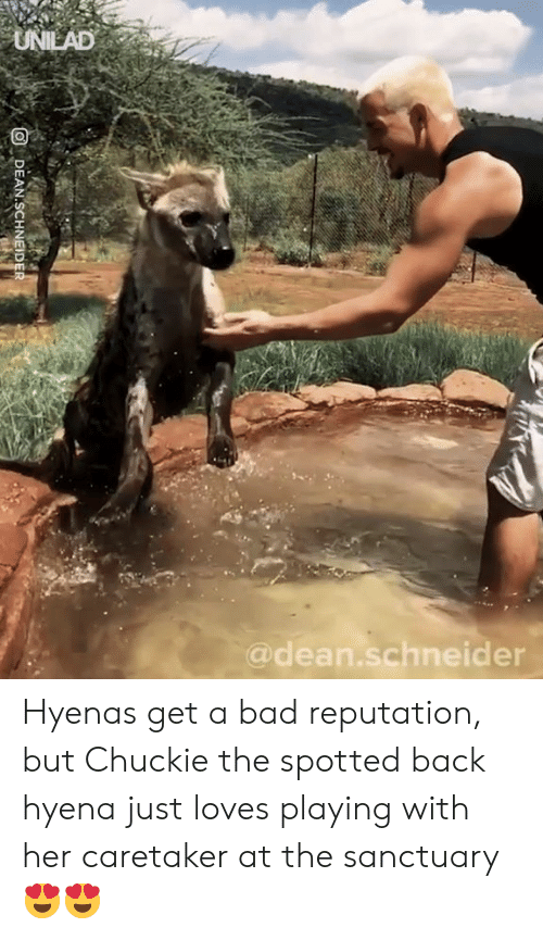 Bad, Dank, and Back: UNIEAD  @dean.schneider Hyenas get a bad reputation, but Chuckie the spotted back hyena just loves playing with her caretaker at the sanctuary 😍😍