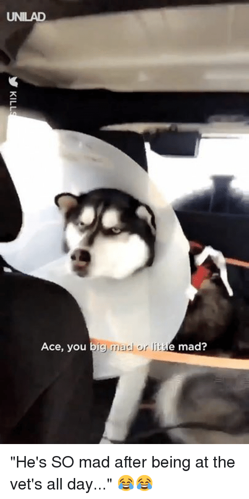 "Dank, Mad, and 🤖: UNILAD  Ace, you big  mad or I  e mad? ""He's SO mad after being at the vet's all day..."" 😂😂"
