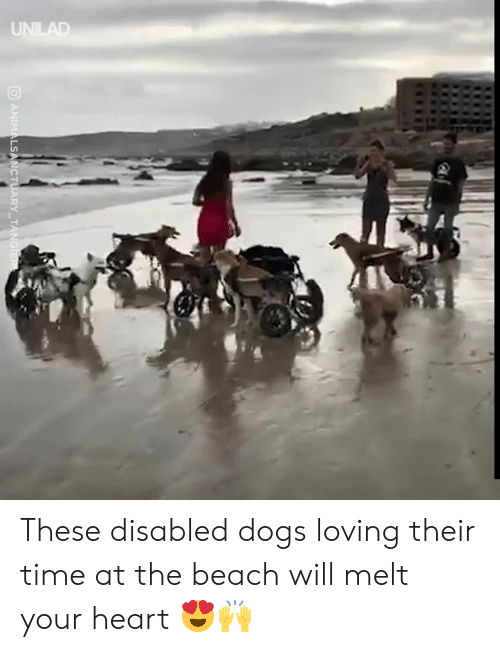 at the beach: UNILAD  ANIMALSANCTUARY TANGIER These disabled dogs loving their time at the beach will melt your heart 😍🙌