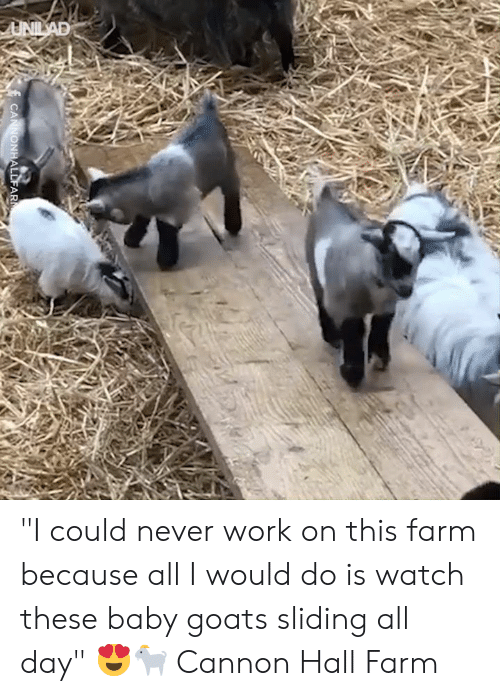 "goats: UNILAD  CANNONHALLFAR ""I could never work on this farm because all I would do is watch these baby goats sliding all day"" 😍🐐  Cannon Hall Farm"