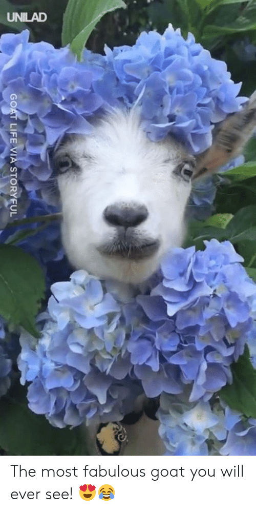 Dank, Life, and Goat: UNILAD  GOAT LIFE VIA STORYFUL The most fabulous goat you will ever see! 😍😂