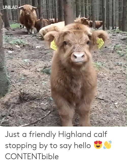 calf: UNILAD Just a friendly Highland calf stopping by to say hello 😍👋  CONTENTbible