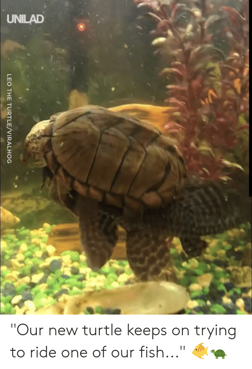 "leo: UNILAD  LEO THE TURTLE/VIRALHOG ""Our new turtle keeps on trying to ride one of our fish..."" 🐠🐢"