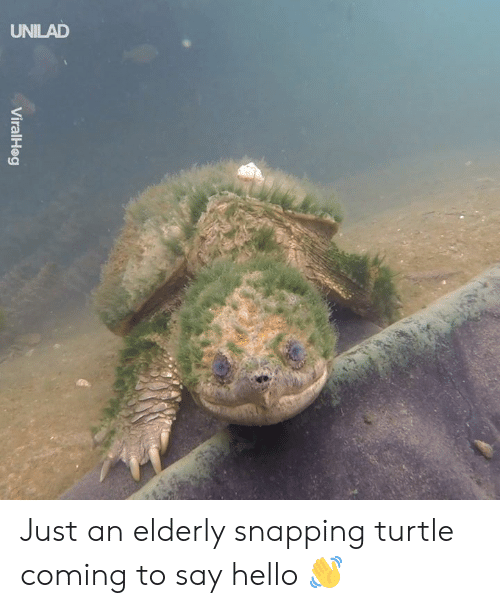 Dank, Hello, and Turtle: UNILAD  ni Just an elderly snapping turtle coming to say hello 👋