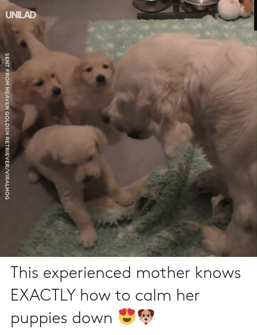 retriever: UNILAD  SENT FROM HEAVEN GOLDEN RETRIEVER/VIRALHOG This experienced mother knows EXACTLY how to calm her puppies down 😍🐶