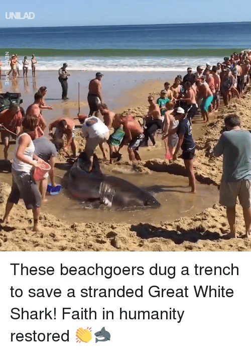 faith in humanity restored: UNILAD These beachgoers dug a trench to save a stranded Great White Shark! Faith in humanity restored 👏🦈