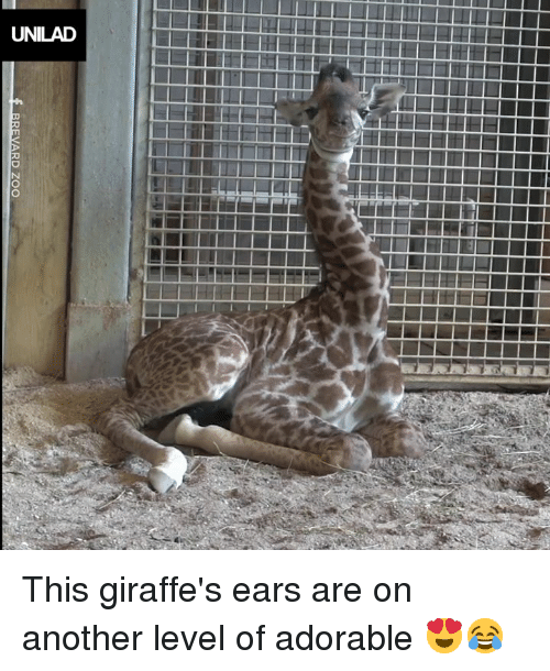 Dank, Adorable, and 🤖: UNILAD This giraffe's ears are on another level of adorable 😍😂