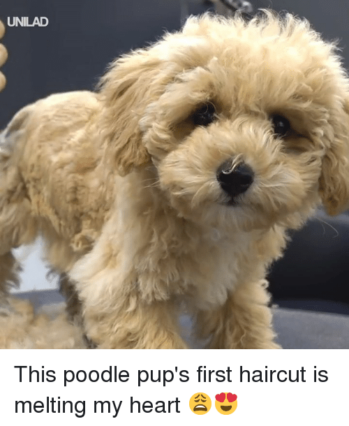 melting: UNILAD This poodle pup's first haircut is melting my heart 😩😍