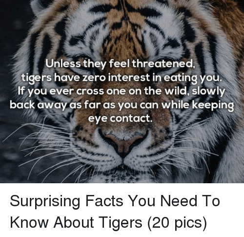 Back Away: Unless they feel threatened.  tigers have zero interest in eating you  If you ever cross one on the wild, slowly  back away as far as you can while keeping  eye contact. <p>Surprising Facts You Need To Know About Tigers (20 pics)</p>