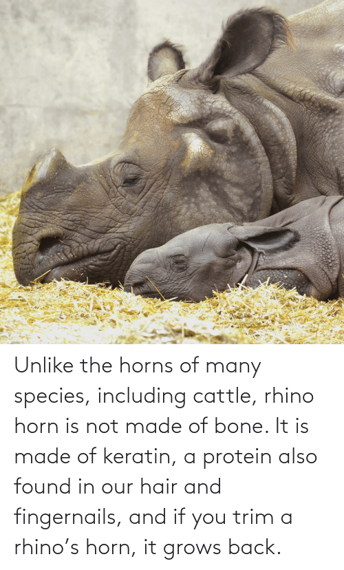 Horn: Unlike the horns of many species, including cattle, rhino horn is not made of bone. It is made of keratin, a protein also found in our hair and fingernails, and if you trim a rhino's horn, it grows back.