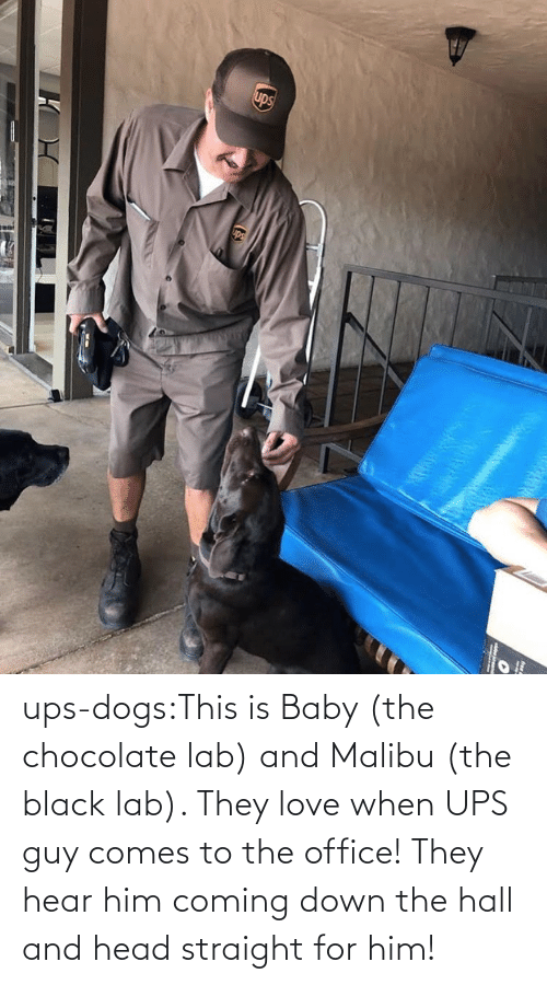 UPS: ups-dogs:This is Baby (the chocolate lab) and Malibu (the black lab). They love when UPS guy comes to the office! They hear him coming down the hall and head straight for him!