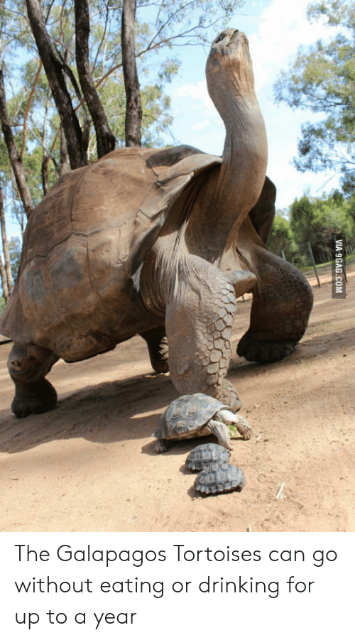 9gag, Drinking, and Com: VIA 9GAG.COM The Galapagos Tortoises can go without eating or drinking for up to a year