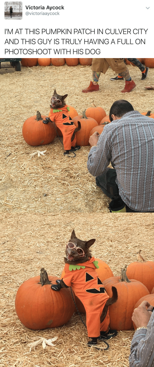 Pumpkin, Dog, and Victoria: Victoria Aycock  @victoriaaycock  'M AT THIS PUMPKIN PATCH IN CULVER CITY  AND THIS GUY IS TRULY HAVING A FULL ON  PHOTOSHOOT WITH HIS DOG