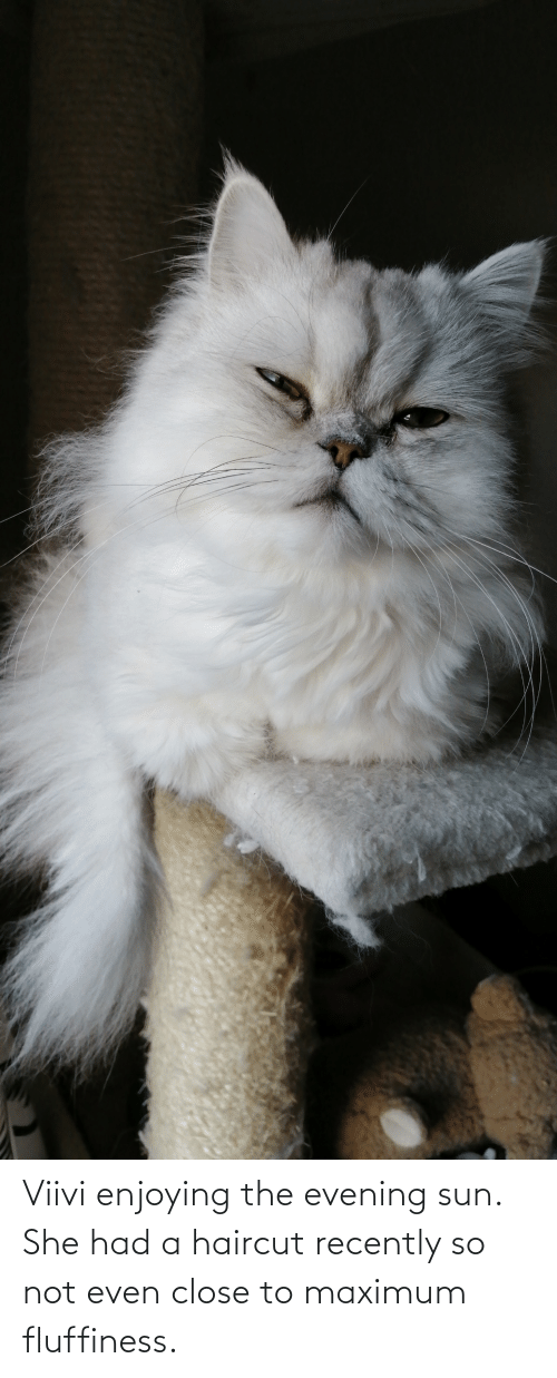 Fluffiness: Viivi enjoying the evening sun. She had a haircut recently so not even close to maximum fluffiness.